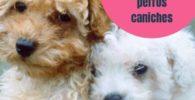Los mejores nombres para perros caniches machos