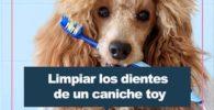 limpiar los dientes a un caniche toy