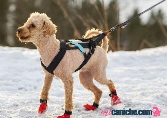 Practicar canicross con un caniche en la nieve requiere equipo especial.