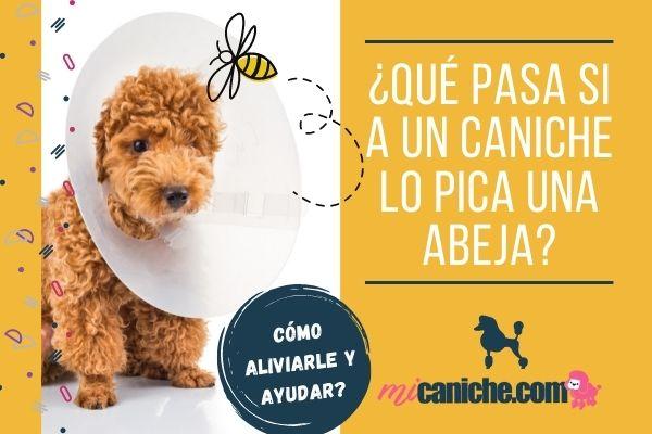 ¿Qué pasa si a un perro caniche lo pica una abeja?