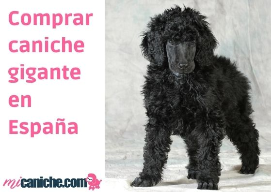 Comprar caniche gigante en España